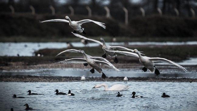 flight-of-the-swans